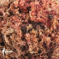 Red Sphagnum '1 litre' 'Potting media'