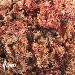 Red spaghnum