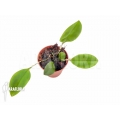 Orchid 'Restrepia striata'