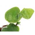 Rhapidophora species vivaria 'L'