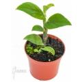 Rhaphidophora latevaginata starter
