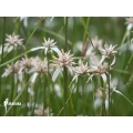 White top sedge 'Rhynchospora colorata'