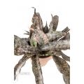 "Sanseveria pulchra ""L"""