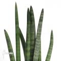 African spear sansevieria 'Sansevieria cylindrica var. Patula'