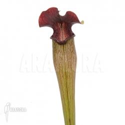 Sarracenia alata (M)
