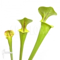 Trumpet pitcherplant ´Sarracenia flava (M)'