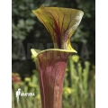 Trumpet pitcherplant ´Sarracenia flava var. Rubricorpora (020018)'