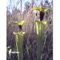 Trumpet pitcherplant ´Sarracenia flava var. Rugelii (020020)'