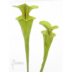Sarracenia flava 'SN'