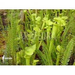 Sarracenia garden