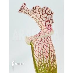 Sarracenia leucophylla (z10029)