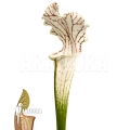 Trumpet pitcherplant 'Sarracenia leucophylla 'Red Line''