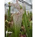 Trumpet pitcherplant ´Sarracenia leucophylla (Large and white)'