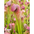 Trumpet pitcherplant 'Sarracenia minor' 'starter'