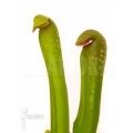 Trumpet pitcherplant 'Sarracenia minor Okefenokeensis'