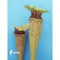 Trumpet pitcherplant ´Sarracenia oreophila (Dark clone)'