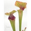 Trumpet pitcherplant ´Sarracenia oreophila (Red line)'