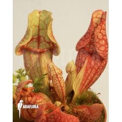 Sarracenia purpurea ssp venosa