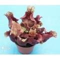 Trumpet pitcherplant ´Sarracenia purpurea ssp venosa var. Burkii'