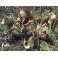 Trumpet pitcherplant ´Sarracenia purpurea ssp venosa 'Burkii' (050038)'