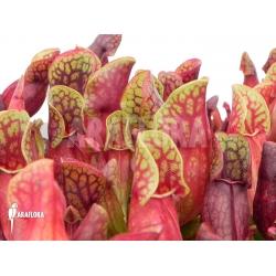 Sarracenia purpurea var. purpurea (S)