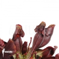 Trumpet pitcherplant ´Sarracenia purpurea var. Purpurea'