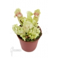Trumpet pitcherplant 'Sarracenia purpurea var venosa 'White Ghost' 'Starter'