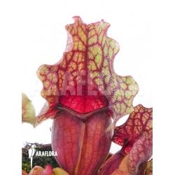 Sarracenia purpurea var. venosa 'Clementina'