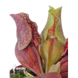 Sarracenia purpurea var. venosa 'HS'