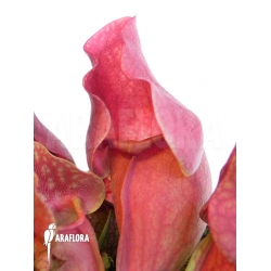Sarracenia purpurea var. venosa 'Red'
