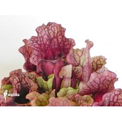 Sarracenia purpurea var. venosa 'Sylwia'