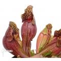 Trumpet pitcherplant ´Sarracenia purpurea var. purpurea (XL)'