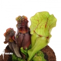 Trumpet pitcherplant ´Sarracenia purpurea var. Venosa (M)