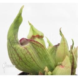 Sarracenia purpurea 'Smurf'