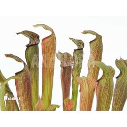 Sarracenia rubra ssp rubra