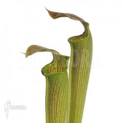 Sarracenia rubra ssp wherry giant
