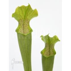 Sarracenia rubra 'alabamensis'