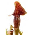 Trumpet pitcherplant Sarracenia x 'Linda' 'M'