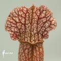 Trumpet pitcherplant ´Sarracenia x leucophylla hybrid B'