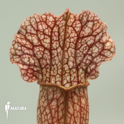 Sarracenia x leucophylla hybrid B