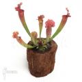 Trumpet pitcherplant ´Sarracenia x leucophylla hybrid type B'
