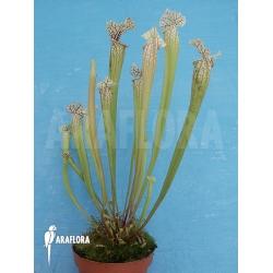 Sarracenia x leucophylla hybrid 'Snow White'