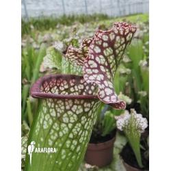Sarracenia x leucophylla 'Big daddy'