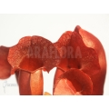 Trumpet pitcherplant ´Sarracenia x purpurea (Barbapapa)'