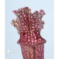 Sarracenia x stevensii