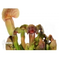 Trumpet pitcherplant 'Sarracenia x barbapapa'