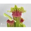 Trumpet pitcherplant ´Sarracenia x (Rene)'