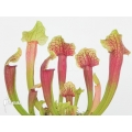 Trumpet pitcherplant ´Sarracenia x (Smoorie)'