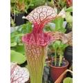 Trumpet pitcherplant Sarracenia 'Unique clone Araflora 01'