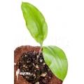 Scadoxus multiflorus ssp multiflorus